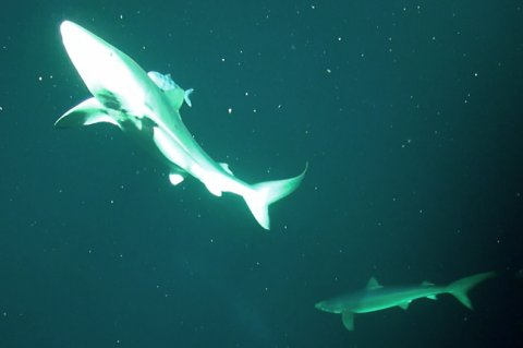 This image shows two Blue Sharks, photographed by ROV Isis during its journey to and from the seabed.